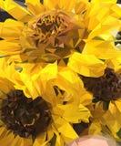 三个向日葵花束  库存例证