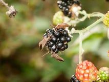 三个大船坞甲虫臭虫在黑莓关闭外面 库存图片