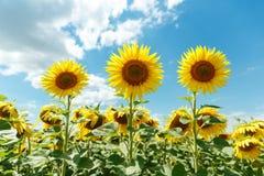 三个开花的向日葵 最佳的射击 库存照片