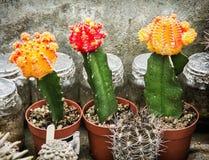 三个开花的仙人掌,从事园艺的题材 库存图片