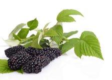 三个新鲜的黑莓演播室射击与叶子的在背景中 库存图片