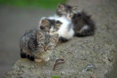 三个无家可归者小猫 免版税库存照片