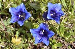 三个无茎的植物在法国阿尔卑斯 免版税库存图片