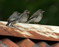 三个晨曲孩子白色令科之鸟的Motacilla 图库摄影