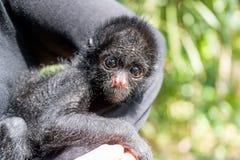 三个月的蜘蛛猴 免版税库存图片