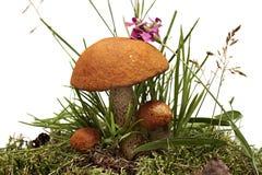 三个橙色盖帽牛肝菌蕈类。在白色背景和草隔绝的森林蘑菇、青苔。 图库摄影