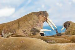 三个海象与说谎在地面的象牙的海象属rosmarus,b 库存图片