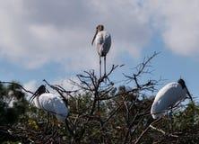三个澳大利亚人在树的朱鹭嵌套 库存图片