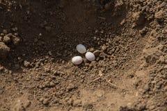 三个爬行动物鸡蛋 库存图片
