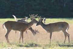 三个白尾鹿大型装配架 免版税图库摄影