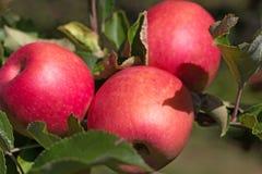三个红色苹果在树枝增长 免版税库存照片