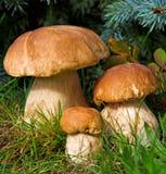 三个蘑菇牛肝菌蕈类在森林里 库存照片