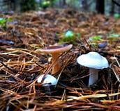 三个年轻人在杉木针中的清洁采蘑菇 免版税库存图片