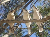 三个年轻人Kookaburras 免版税库存图片