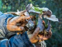三个lepista nuda蘑菇 免版税图库摄影