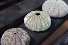三五颜六色的干燥海胆壳在黑桌上排队了 免版税库存照片