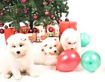 三使用在圣诞树下的美丽的白色西伯利亚萨莫耶特人小狗 库存照片