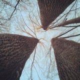 三倍树干 图库摄影