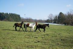 三匹公马在绿色草甸 免版税库存图片