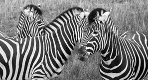 三匹平原斑马头,拍摄在黑白照片在口岸Lympne徒步旅行队公园,阿什富德,肯特英国 免版税图库摄影