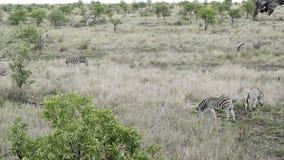 三匹斑马在大草原吃草在津巴布韦 免版税库存图片