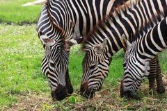 三匹斑马 免版税库存图片