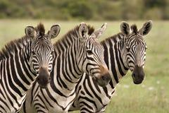 三匹斑马 免版税库存照片