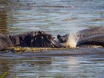 三匹河马在使用的水中sumberged喷洒和快乐,徒步旅行队在Moremi NP,博茨瓦纳,非洲 免版税图库摄影
