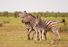 三匹男性斑马战斗 免版税库存照片