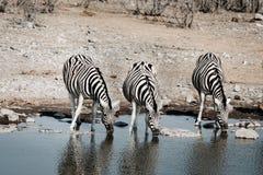 三匹饮用的斑马 免版税库存照片