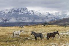 三匹马在怀俄明大农场牧场地 免版税库存图片