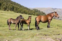 三匹马在草甸站立在安道尔的比利牛斯 库存图片