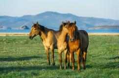三匹马 在贝加尔湖自然保护的马  免版税库存照片