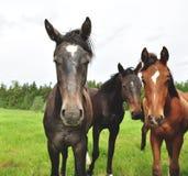 三匹马 库存照片