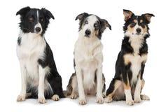 三博德牧羊犬狗坐白色背景 免版税库存图片