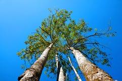 三反对蓝天的树 图库摄影