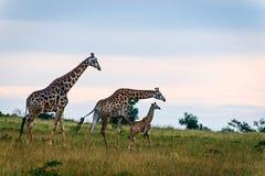 三口之家在大草原的长颈鹿 免版税库存图片