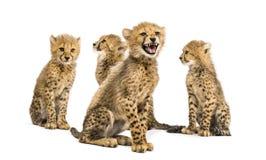 三口之家的小组月猎豹崽坐 库存图片