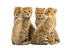 三口之家的小组月猎豹崽坐 图库摄影