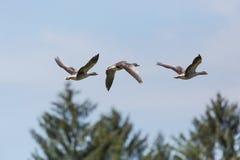 三只与树和蓝天的飞行的灰色鹅分析服务公司分析服务公司 免版税库存照片