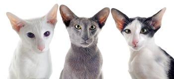 三只东方猫 免版税图库摄影