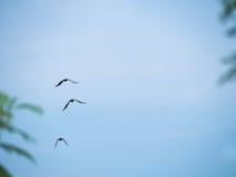 三只乌鸦飞行 免版税库存图片
