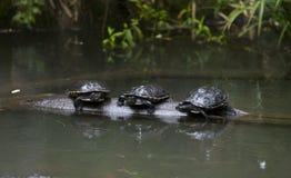 三只乌龟 免版税库存照片