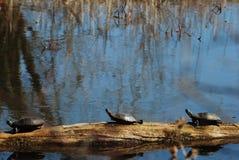 三只乌龟 免版税库存图片