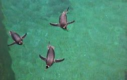 三只企鹅游泳 库存照片
