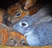 三只兔子,紧的拥抱,互相的偎依 库存照片