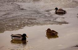 三只冬天鸭子 库存照片