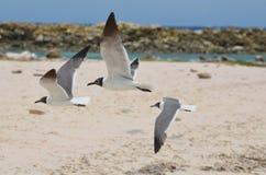 三只加勒比笑的鸥在飞行中在婴孩海滩 图库摄影