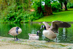 三只加拿大鹅在池塘 免版税图库摄影