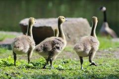 三只加拿大鹅幼鹅,黑雁canadensis最大值,步行在公园 图库摄影